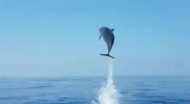 海豚媽媽跳出海面,表演一連串美技跳水,彷彿在向漁民們「說謝謝」。(視頻截圖)
