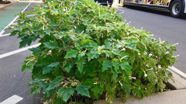 上周在曼哈頓上西城被發現含有劇毒、稱為「曼陀羅」的野生植物,於10日上午終被連根拔起。(NBC紐約地方電視台截頻)