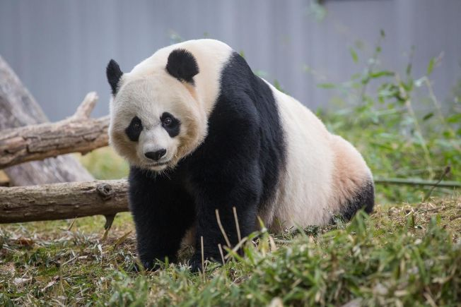 通過人工授精的大熊貓美香並未成功懷孕。(國家動物園提供)