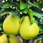 秋天吃柚子 患病者聰明攝取