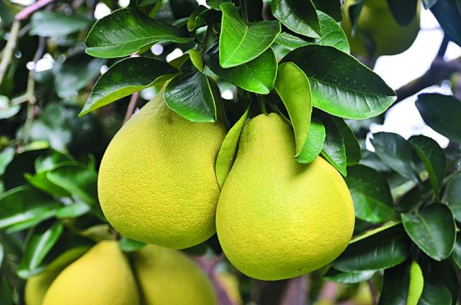 營養師提醒,柚子含醣量也不少,切勿一次吃過量。 (本報資料照片)