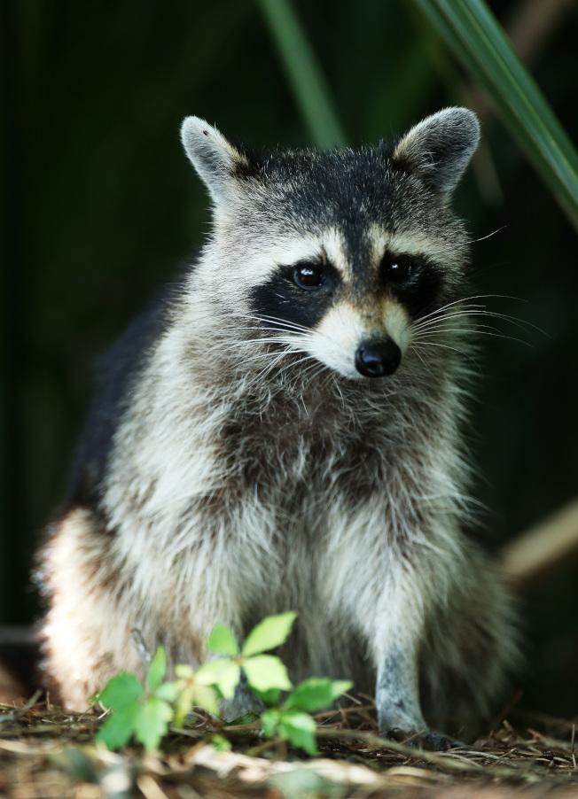 威徹斯特郡當局說,幾天前在當地襲擊三人的一隻浣熊已被驗出患有狂犬病。(Getty Images)