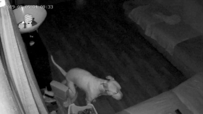 一名加州居民發現狗狗自學在兒童馬桶如廁。(擷自影片)