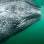 好奇小灰鯨游向人類雙手 他們用鏡頭見證驚奇瞬間