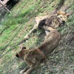 餓壞?中國這家動物園 獅子瘦到皮包骨