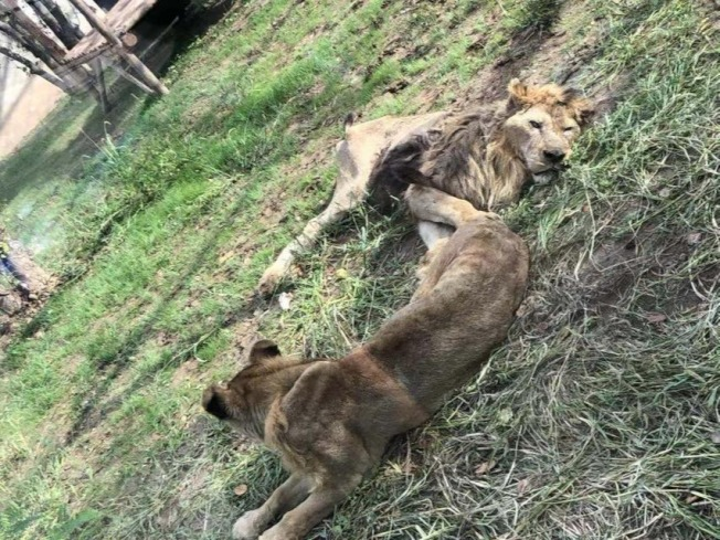 遼陽動物園內,兩頭獅子身形瘦弱,狀態不佳。(取材自新京報)