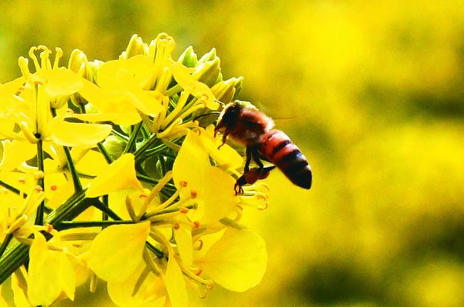 巴西非政府組織「巴西記者」和新聞社「公共機構」分析各州農業廳報告指出,2018年12月至今年2月,有近5億隻蜜蜂死亡。(新華社資料照片)