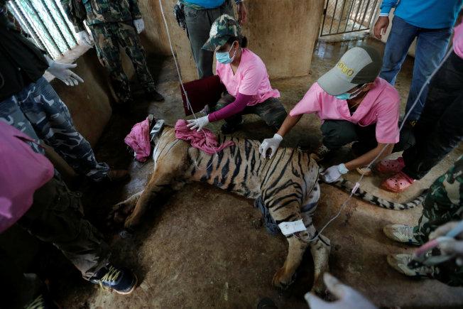 2016年,泰國臭名遠播的「老虎廟」,有147隻疑遭受虐的老虎被救出安置。但因為近親繁殖、先天免疫缺乏,儘管泰國當局盡力照料,這些被救老虎三年來有超過一半受病痛折磨而死。圖為2016年,「泰國野生動植物保護局」(DNP)人員將老虎廟老虎強制遷移安置。 (路透)