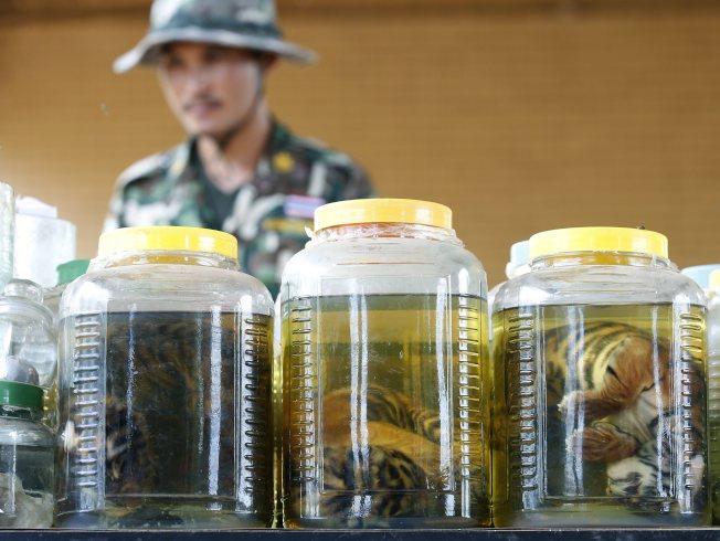 老虎廟還遭查獲20罐浸泡著幼虎、虎鞭等器官的藥酒罐,遭質疑從事老虎藥材及奢侈品(比方虎皮地毯)的非法買賣。(歐新社)
