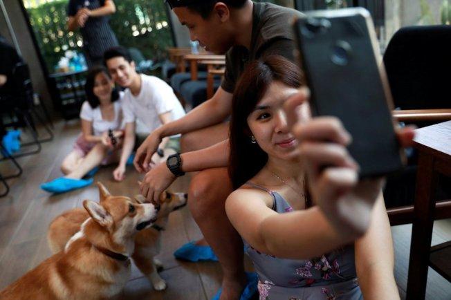 除了老虎以外,近年在泰國及其他東南亞國家,也吹起各種動物咖啡廳的風潮。但這類人為豢養、商業圖利的經營方式,卻也同時掀起動物保育的質疑。圖為曼谷的柯基咖啡廳。(路透)