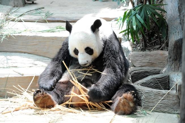 旅泰的19歲雄性大熊貓「創創」於16日死亡。(新華社資料照片)