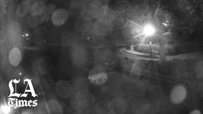 P-61逃到樹上後,另一隻山獅先走開。(監視器畫面)