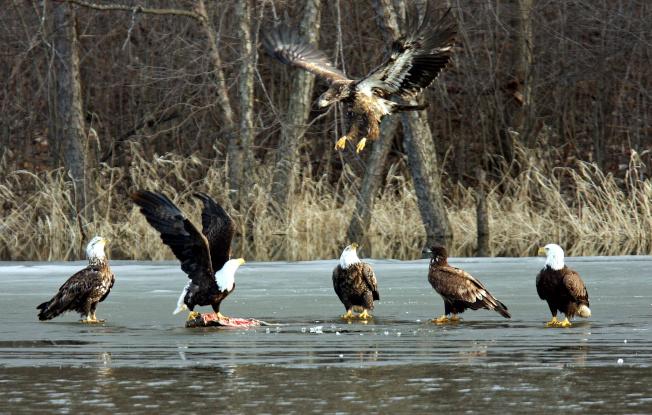 一群白頭鷹和金鷹在明尼蘇達州境內的密西西比河捕食魚類。(路透)