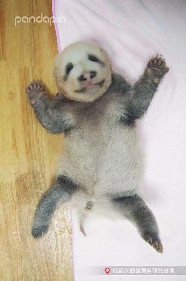 成都大熊貓繁育研究基地今年新誕生的大熊貓寶寶「績笑」,其灰色的毛髮自帶喜感,許多遊客看到都忍不住高呼可愛。(取材自四川觀察)
