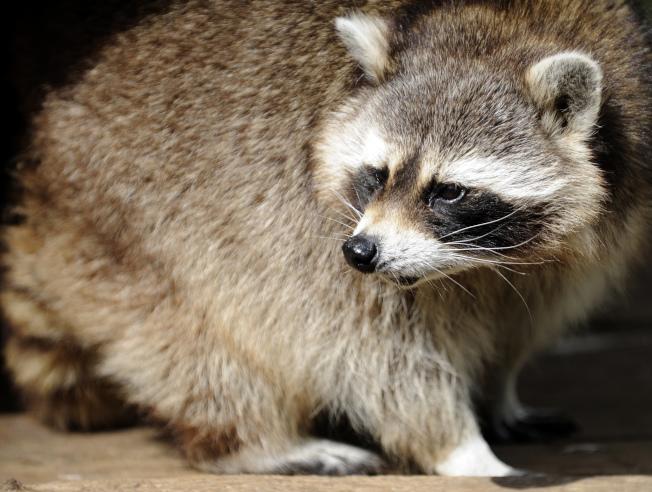 新澤西州梅伍德市正在接受狂犬病檢測的一隻浣熊,日前曾襲擊兩個人,追逐一群兒童,並曾撲向警察。(Getty Images)
