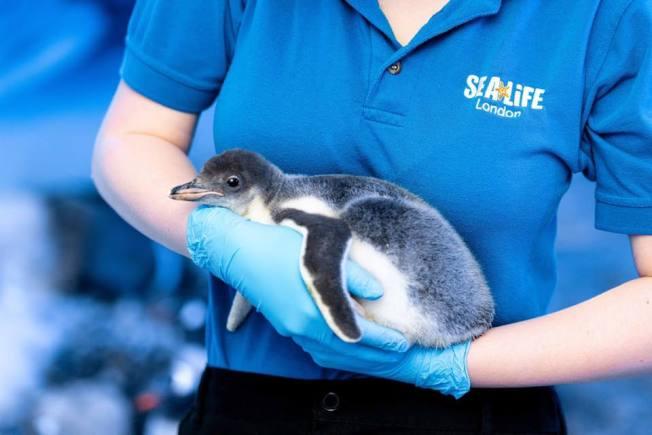 同性戀企鵝撫養第1隻無性別寶寶
