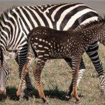 肯亞國家保護區出現一匹…點狀紋路的斑馬?