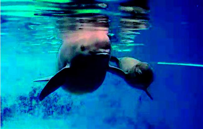 剛滿100天的人工二代江豚寶寶正在媽媽的陪伴下游弋。(取材自澎湃新聞)
