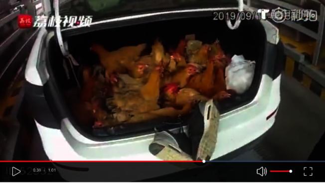 司機打開後車廂後,警方發現司機為了讓十多隻土雞能夠在載運期間能透透氣,而把球鞋卡在後車廂上。(荔枝新聞)