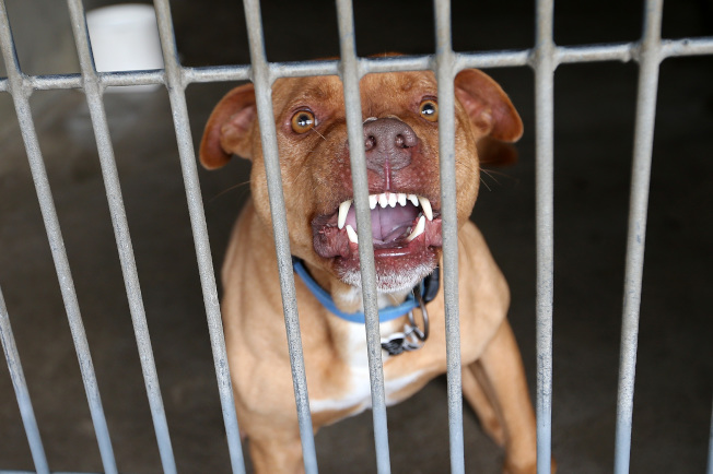 普萊賽縣一名男嬰遭家中飼養的一頭比特犬咬死。圖中之犬並非咬死嬰兒的狗。(Getty Images)