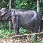 骨瘦如柴令人心碎 斯里蘭卡70歲母象去世