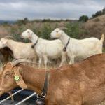 預防山火 巴市雇近百山羊吃草