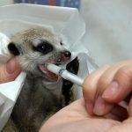 機場首度查獲!狐獴寶寶「偷渡」餓壞了 吃奶模樣超萌