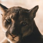 驚!人在家中坐 山獅闖進來