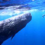俄正妹下海游泳 被好奇的抹香鯨寶寶追著不放