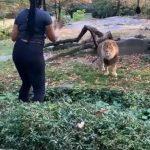 布朗士動物園驚魂 女子拍攝獅子越圍欄 倖未被襲