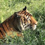 15年前曼哈頓公寓被解救 老虎「明」離世