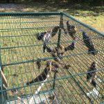 FWC新規 誘捕、殺虐鳴禽 初犯恐入獄