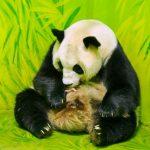 廣州貓熊 生下「國慶」寶寶