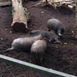 豬竟會用木棍挖洞築巢!研究首次發現:豬也會用工具
