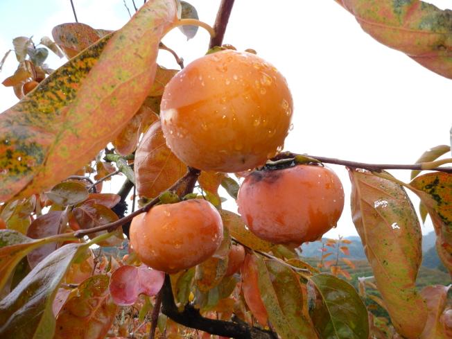 甜柿能在樹上自行脫澀,採收後不需脫澀即可直接食用,具有果粒大、糖度高及果色美等優點,建議選購時以萼片完整、果色均勻且橙紅的果實為佳。圖/農委會台中農改場提供
