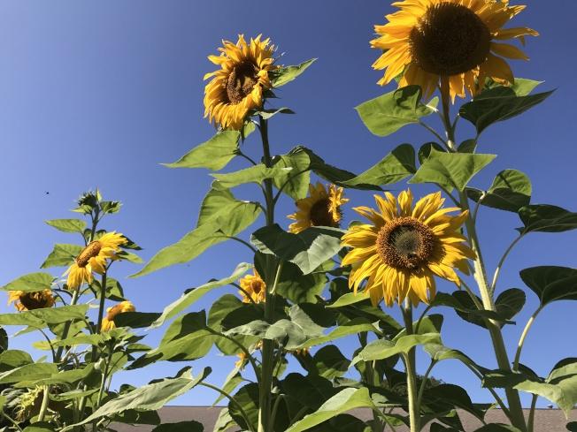 盛開的向日葵。(依娃.圖片提供)