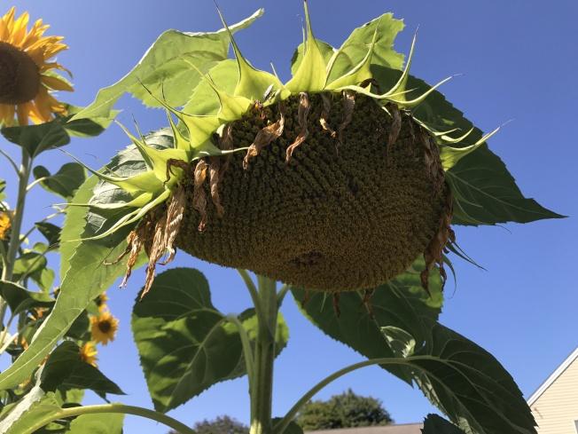 開花後,結了滿滿的葵花籽。(依娃.圖片提供)