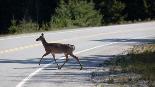 野鹿發情期即將到來,專家提醒民眾注意殭屍鹿病毒。(美聯社)