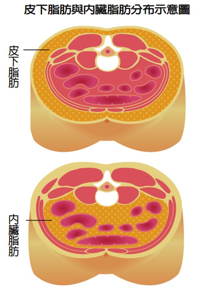 皮下脂肪與內臟脂肪。