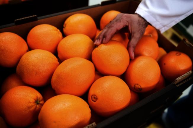 亞洲柑橘木蝨散播的細菌可導致柑橘樹死亡。(本報檔案照)
