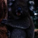 天洋旅行社推出來遊澳洲的循環式澳洲旅行團