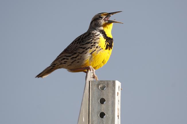 「奧杜邦協會」表示,北美有三分之二鳥類正以驚人速度消失。圖為洛磯山野生保護區的西草地鷚。(美聯社)