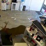 雙語|闖進都市叢林 各地迷「鹿」受困