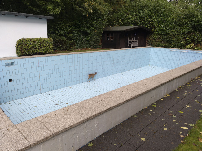 德國幼鹿受困泳池。(美聯社)