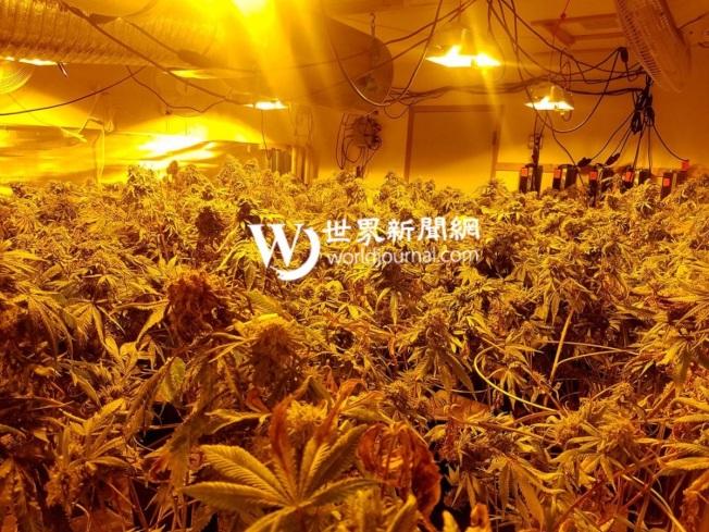 王興全在華盛頓州被查出非法種植大麻;圖為屋內種植的大麻,晝夜照明。(基沙普郡警方提供)