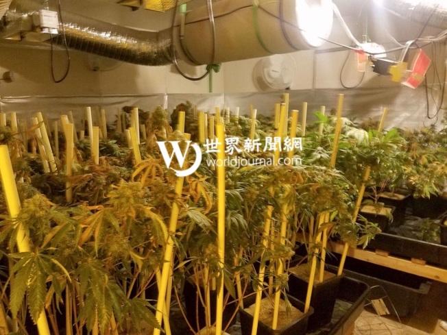 王興全在南基沙普郡的房屋裡非法種植大麻,裡面安裝有通風系統。(基沙普郡警方提供)