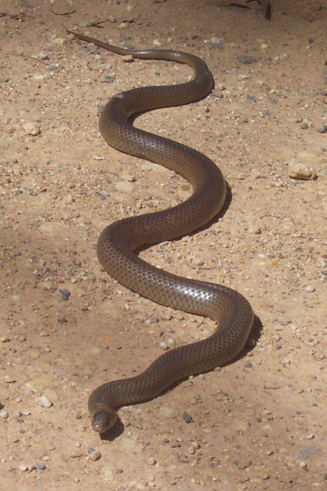 東部棕蛇(Eastern brown snake)被稱為是世界上第二毒的蛇。如果被咬,能在短短幾分鐘內造成心臟衰竭死亡。澳洲毒蛇致死案件中,有41%是出自東部棕蛇。資料畫面,非當事蛇。圖/Poyt448 Peter Woodard
