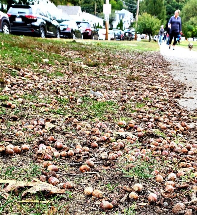 今年橡樹果實特別多,路上、院中掉滿地。(記者唐嘉麗/攝影)