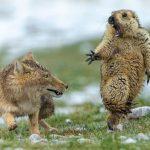 祁連山鼠狐「生死對決」 中國人首獲WPY年度攝影師