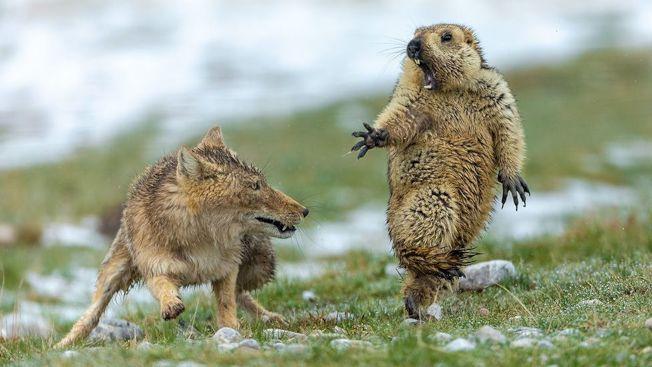 藏狐與土撥鼠「生死對決」照片,讓中國攝影師鮑永清獲倫敦自然歷史博物館頒發「年度野生動物攝影師稱號。(取材自環球網)
